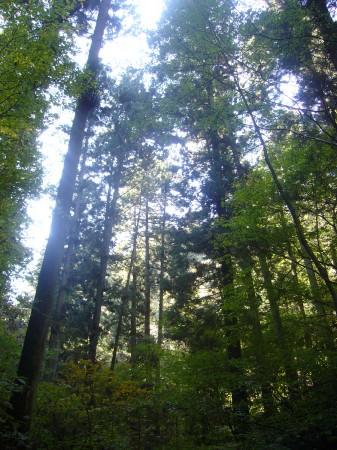 スギの木を見上げる
