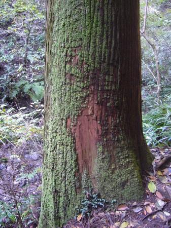 苔むした杉