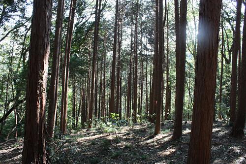 スギの植林