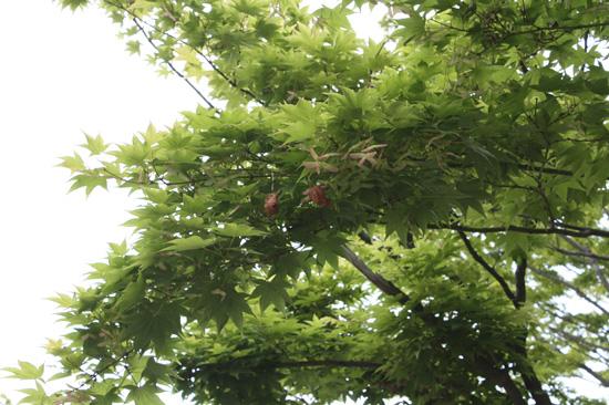 カエデの木にゆりかごがぶらさがっています。