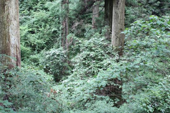 中央あたりに見える白い葉がマタタビの葉。