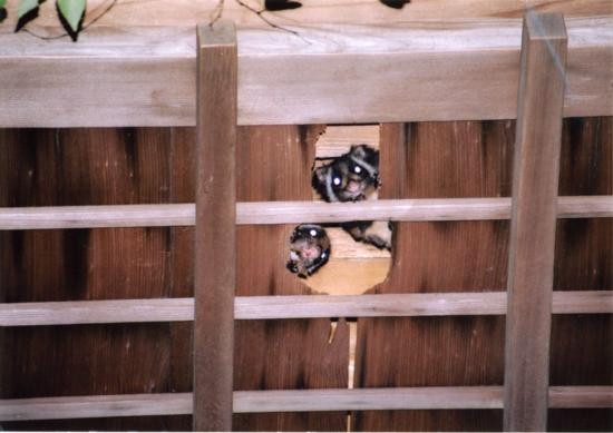 薬王院の天井裏から顔を出しているムササビ。