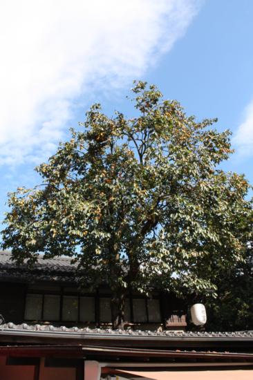 屋根から突き出た高橋家さんの柿の木。実がたくさんです。