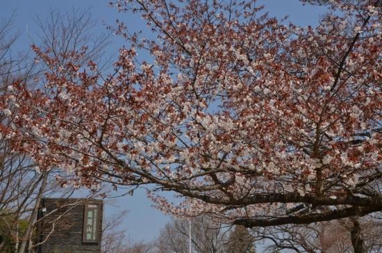DSC_6586a 高尾山頂の桜