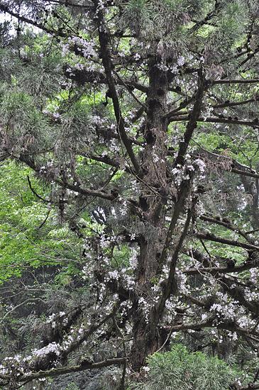 6号路のセッコクツリー。2012年撮影。(c) KURO